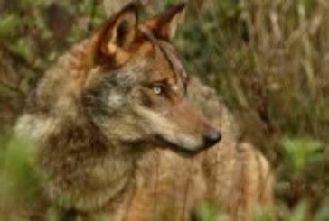 El Museo de Educación Ambiental ofrece mañana un documental sobre la situación del lobo en España