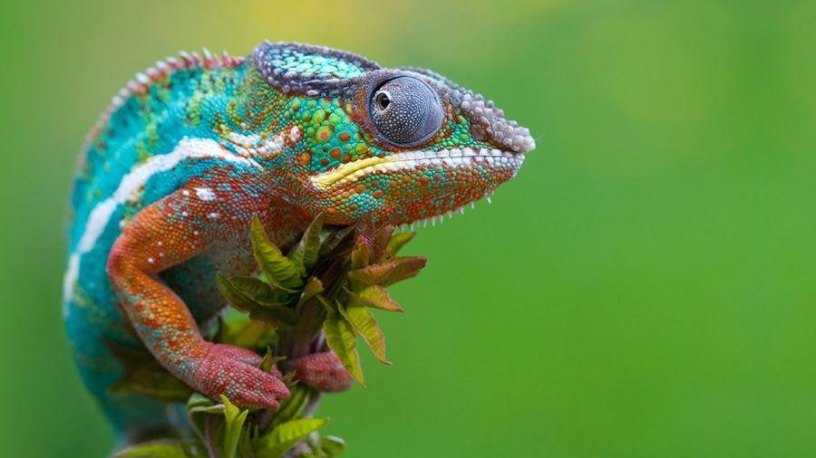 Un estudio demuestra que los ojos de un camaleón no son independientes