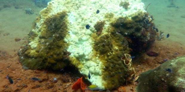 Gran Barrera de coral puede perder 25 % de arrecifes en 40 años por el calentamiento