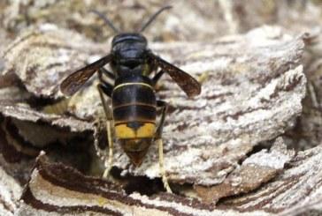 Los científicos avisan que la avispa asiática se expande «como la pólvora»