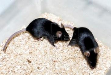 La inmunoterapia funciona contra el cáncer de colon en ratones