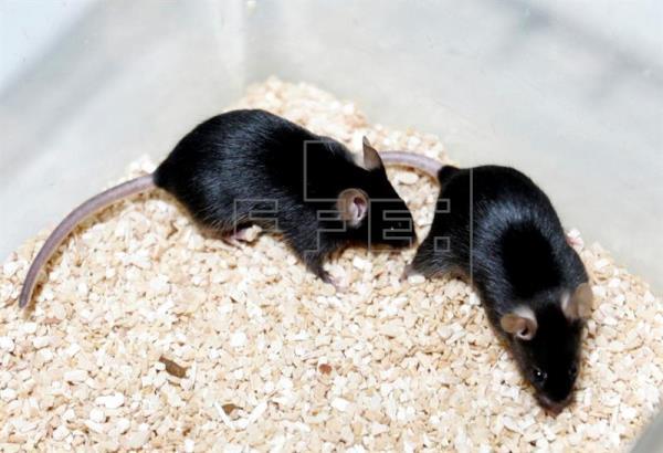 Revierten en ratones un cáncer familiar gástrico muy agresivo con clorhídrico