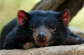 Los demonios de Tasmania evolucionan para resistir al cáncer que los mata