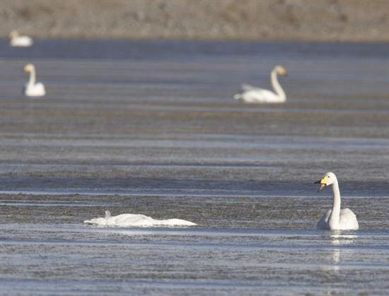 Detectan el virus de la gripe aviar en un cisne muerto en Japón