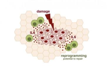La reprogramación celular es mucho más eficiente si los tejidos están dañados