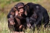 El tamaño del cerebro de los primates viene determinado por la dieta