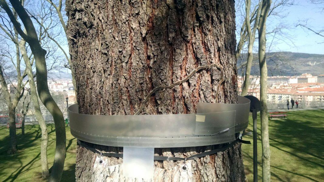 El Ayuntamiento de Pamplona pone anillos de plástico en los árboles contra la procesionaria