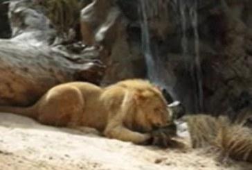 PBD Tres crías de león de Angola llegan al zoológico de Tenerife