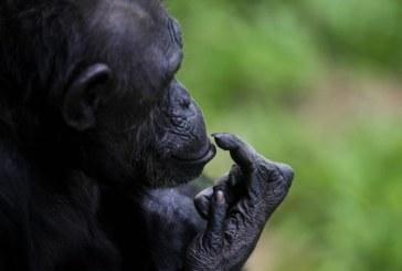 La separación entre humanos y simios sucedió hace 7,2 millones de años en Europa