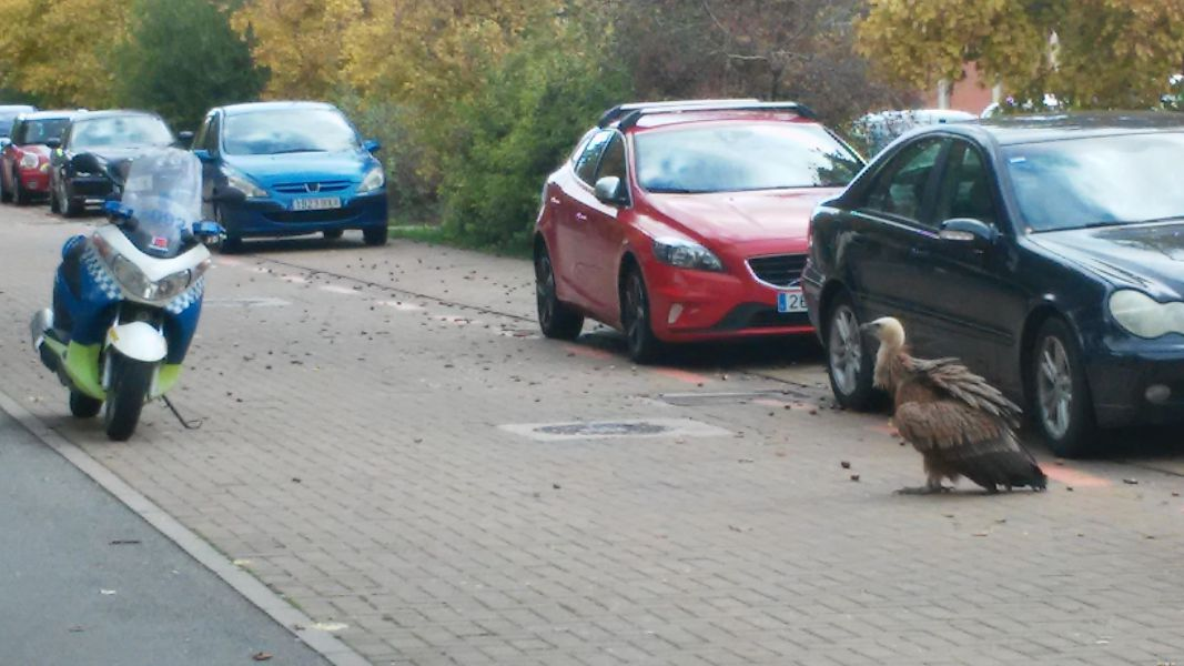 Aparece un buitre encima de un coche en calle Valle de Egüés