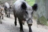 Los jabalís cazados en Navarra en 2018 superan los 9.000, segundo más alto desde 1995