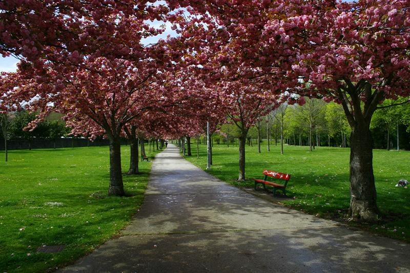 Los cerezos japoneses del parque Irubide, elegidos árboles del año del barrio de Chantrea