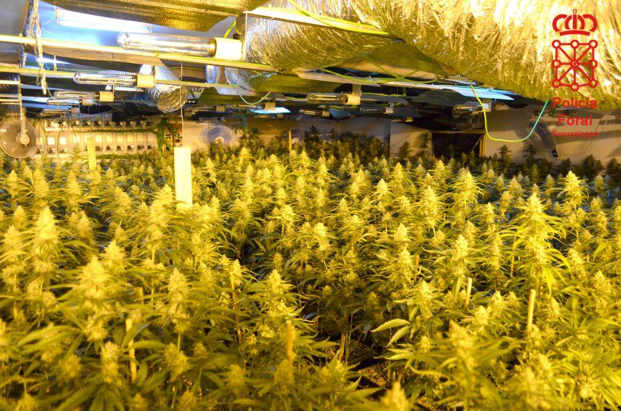 Detenido por cultivar 1.312 plantas de marihuana en un garaje de Gorraiz