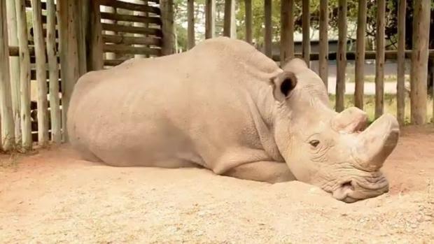 Muere el último rinoceronte macho blanco del norte en el mundo