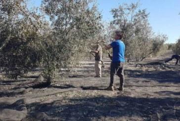España dice que los aranceles de EE.UU. a la aceituna española no tienen «fundamento»