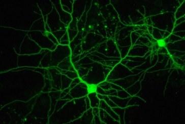 La explosión neuronal que transformó el cerebro de los anfibios en humano