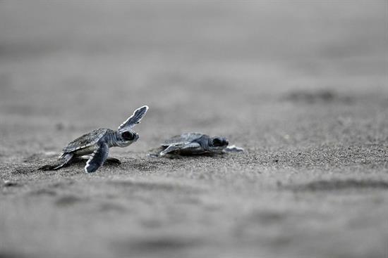 Incremento de tortugas en España, vinculado a subida de temperatura del mar