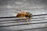 Muere un hombre en Montillana (Granada) tras sufrir una picadura de avispa