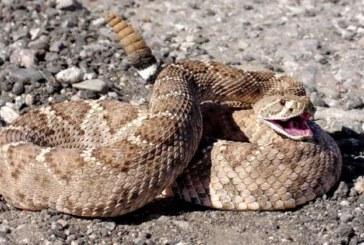Investigadores mexicanos crean antiveneno contra mordeduras de serpiente