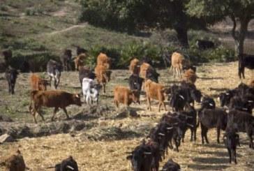 Vecino de Castejón muy grave por cornadas de toro en la finca donde trabajaba