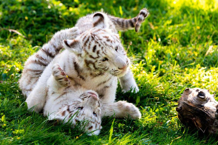 Nacen dos crías de tigre blanco en el parque Sendaviva