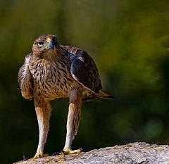 El Gobierno de Navarra gasta 514.864 euros para el águila Bonelli