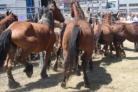 La feria de ganado equino vuelve este domingo al polígono de Agustinos de Pamplona por San Miguel