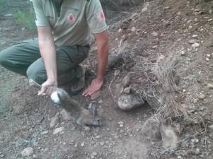 Conejo capturado. (Foto: Navarra.es).