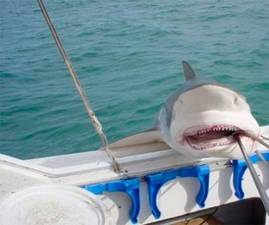Un tiburón tigre atrapado por un niño de 12 años
