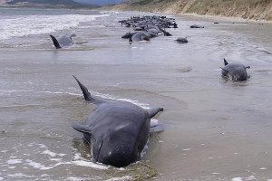 Ballenas varadas mueren en playa Nueva Zelanda