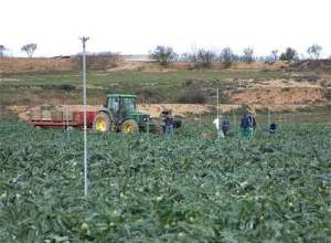 Jornaleros portugueses en una plantación agrícola en los alrededores de Tudela.