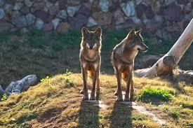 El turismo de observación de lobos ayuda a conservar la especie
