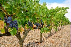 La vendimia en Navarra aumentará un 3% más que en 2014