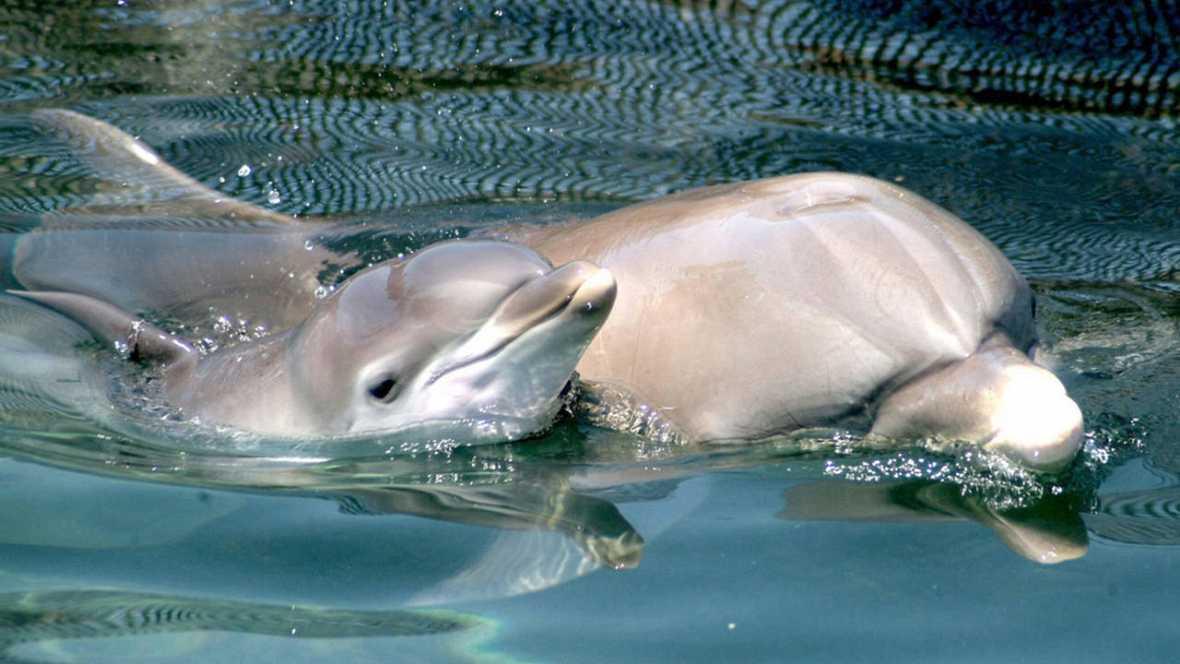 """Madres delfines forman """"guarderías"""" para proteger a sus crías"""