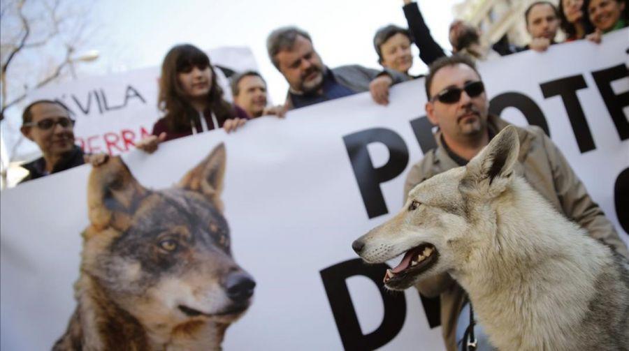 Cientos de personas se manifiestan en Madrid en defensa del lobo ibérico