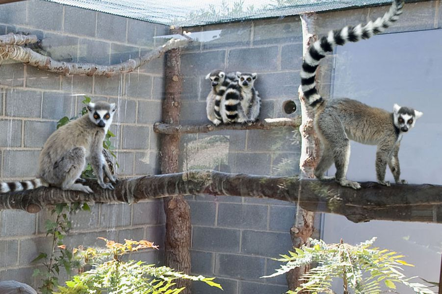 La plaza de los exóticos de Sendaviva cuenta con siete lémures de cola anillada