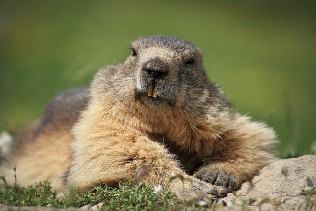 Las hembras de marmotas son infieles para evitar la consanguineidad