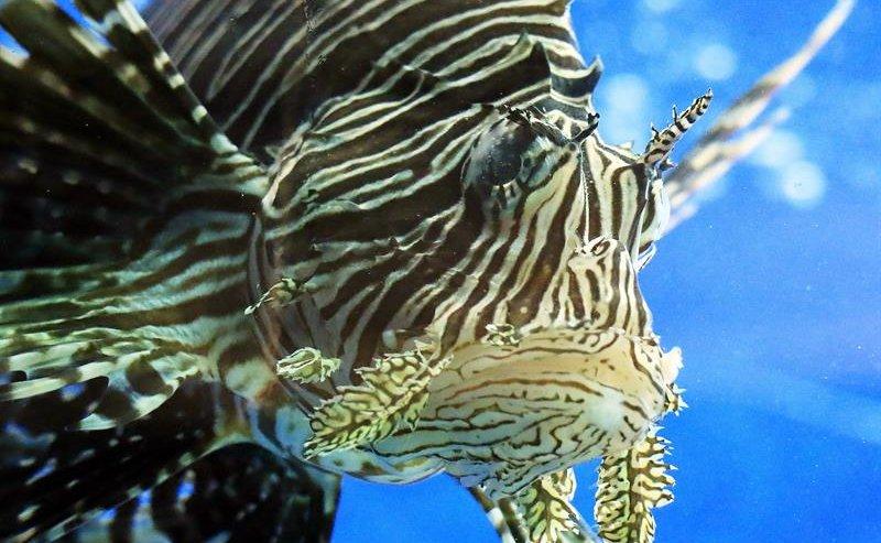 Eliminan cerca de 10,000 ejemplares de pez león de las aguas de Florida