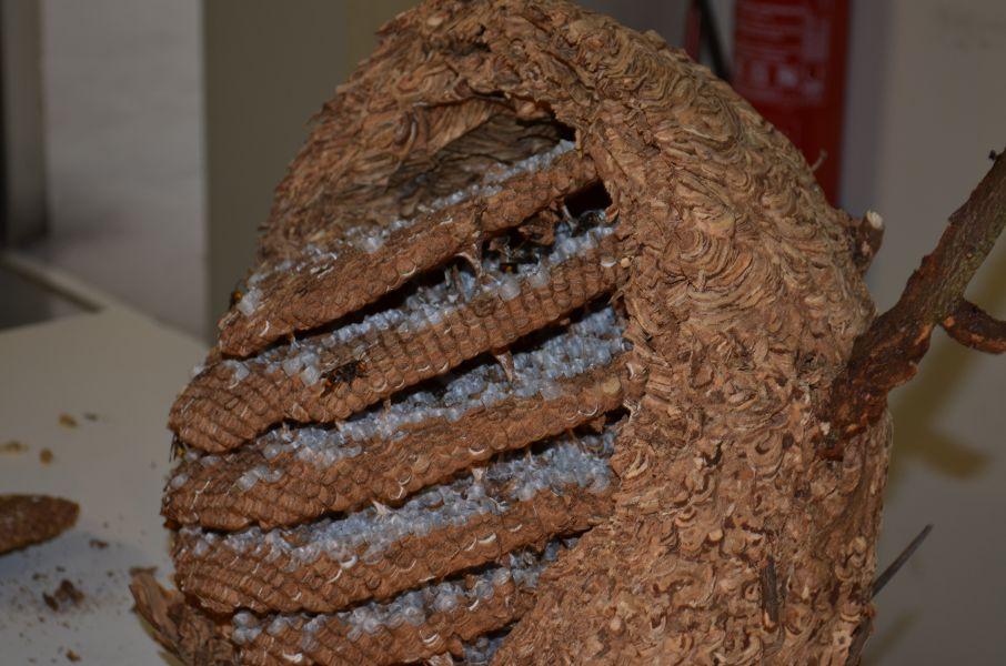 Detectados 73 nidos de avispa asiática en Pamplona