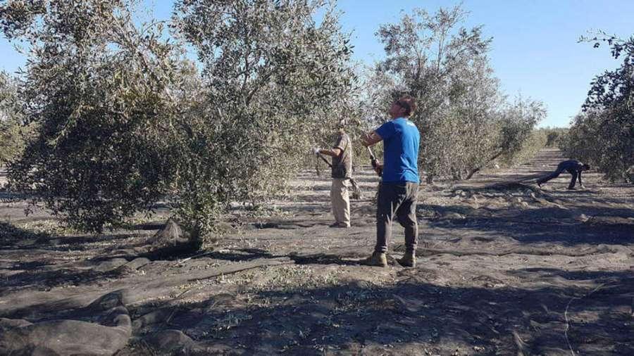 España pide que la UE aborde el lunes los aranceles a la aceituna en EE.UU.