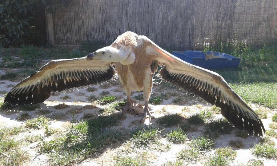 Sendaviva cría un pollo de buitre leonado recogido tras caer del nido en la Foz de Lumbier