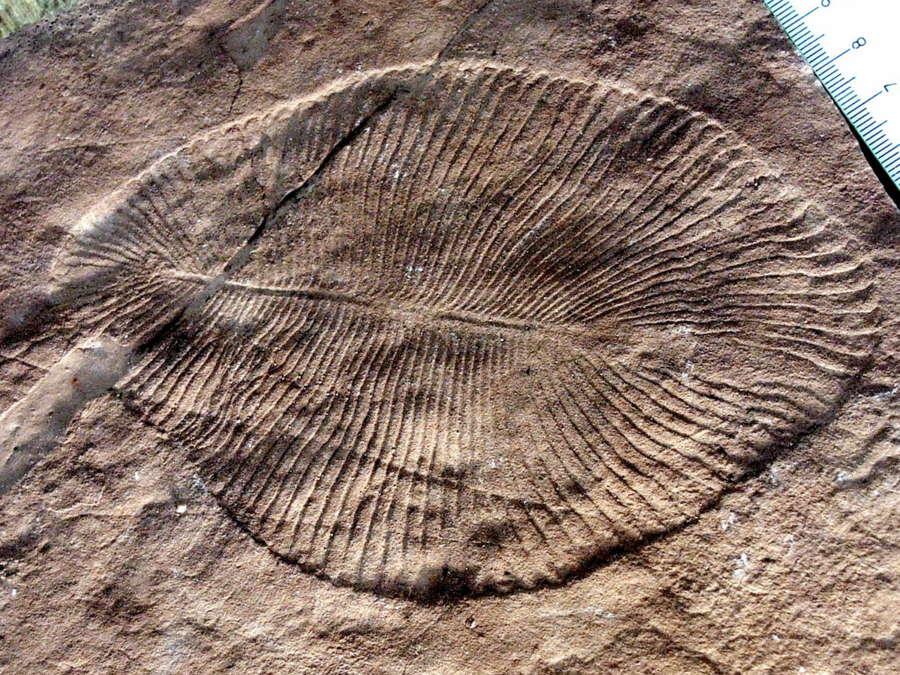 La grasa fosilizada revela que el Dickinsonia es el animal más antiguo de la Tierra