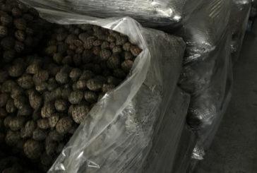 La Policía Nacional inmoviliza más de 25.000 kilos de almejas japónicas ilegales destinadas al consumo humano