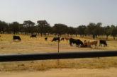 Aprobado el pago de las ayudas de Desarrollo Rural al ganado de lidia
