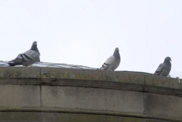 El Ayuntamiento de Pamplona inicia un control de la población de palomas de la ciudad